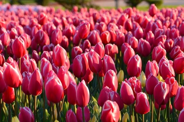 tulips-3251577_960_720